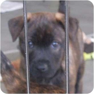 Mastiff/Labrador Retriever Mix Puppy for adoption in Phoenix, Arizona - Mr White - resevoir dog litter