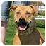Photo 1 - Mastiff/Labrador Retriever Mix Dog for adoption in Long Beach, New York - Lacey