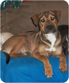 Australian Cattle Dog Mix Puppy for adoption in Oak Lawn, Illinois - Renki