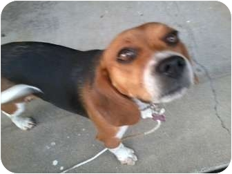 Beagle Dog for adoption in Indianapolis, Indiana - Rosie-PENDING