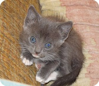 Domestic Shorthair Kitten for adoption in Scottsdale, Arizona - Kittens