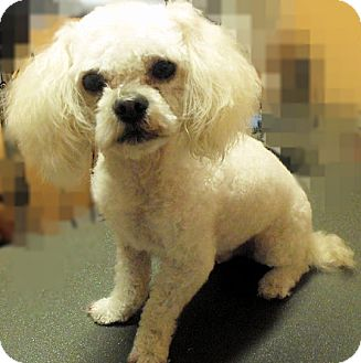 Poodle (Miniature) Mix Dog for adoption in Toronto, Ontario - Mr. Muggs