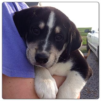 Husky/Border Collie Mix Puppy for adoption in Russellville, Kentucky - Millie