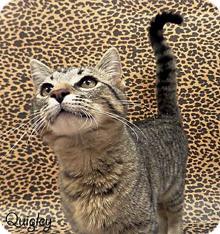Domestic Shorthair Kitten for adoption in Arlington/Ft Worth, Texas - Quigley