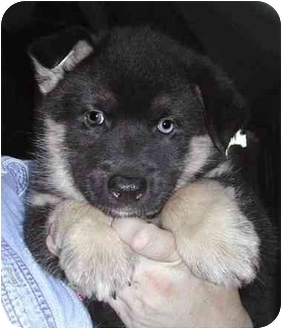 Norwegian Elkhound/Siberian Husky Mix Puppy for adoption in Rolling Hills Estates, California - Tommy
