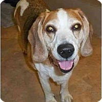 Adopt A Pet :: Starsky - Portland, OR