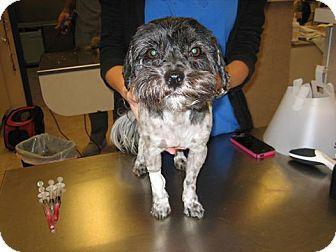 Shih Tzu Mix Dog for adoption in Las Vegas, Nevada - Lauren