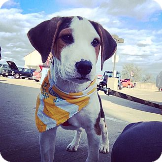 Boxer/Beagle Mix Puppy for adoption in Shelbyville, Kentucky - Pantera