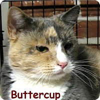 Adopt A Pet :: Buttercup - Plainville, MA