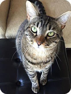 Domestic Shorthair Cat for adoption in San Fernando Valley, California - Toby