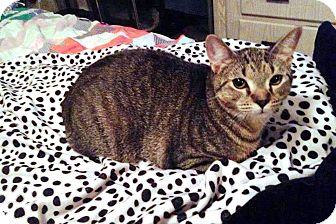 Domestic Shorthair Cat for adoption in Anoka, Minnesota - Smasher