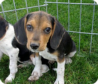Beagle Mix Puppy for adoption in Liberty Center, Ohio - Elvis