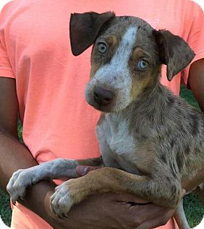 Catahoula Leopard Dog Mix Puppy for adoption in Ocala, Florida - Arthur