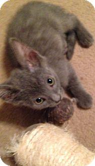 Domestic Shorthair Kitten for adoption in Rockford, Illinois - Caspurr