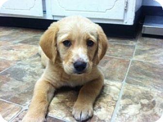 Labrador Retriever Mix Puppy for adoption in Chalfont, Pennsylvania - Andre