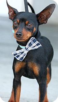 Miniature Pinscher Mix Puppy for adoption in South El Monte, California - Brad