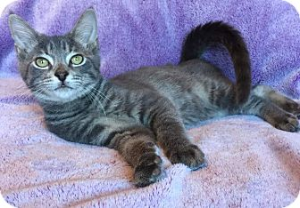 Domestic Shorthair Kitten for adoption in Columbus, Ohio - Tank