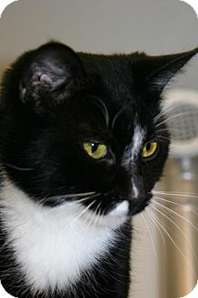 Domestic Shorthair Cat for adoption in Olympia, Washington - 40403