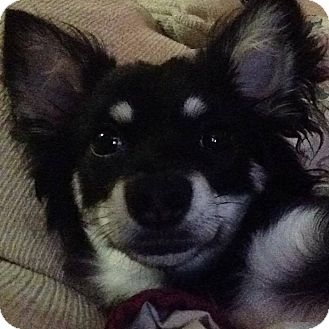Chihuahua Mix Dog for adoption in Owensboro, Kentucky - Humphrey