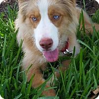 Adopt A Pet :: Blue - Miami, FL