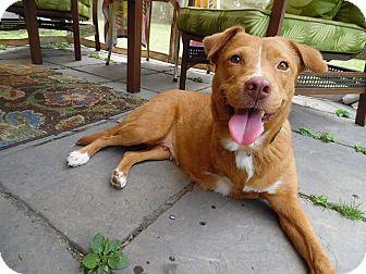 Nova Scotia Duck-Tolling Retriever/Retriever (Unknown Type) Mix Dog for adoption in Media, Pennsylvania - Millie (Tri Pod)