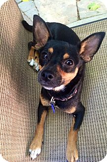 Miniature Pinscher/Jack Russell Terrier Mix Dog for adoption in Santa Monica, California - Storm