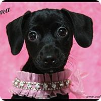 Adopt A Pet :: Emma - Rockwall, TX