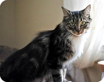 Maine Coon Cat for adoption in Buford, Georgia - Cher