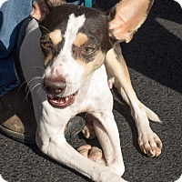 Jack Russell Terrier Mix Dog for adoption in Loudonville, New York - Bernice