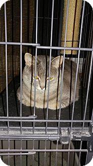 Domestic Shorthair Cat for adoption in Morris, Illinois - HAZEL