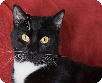 Domestic Shorthair Cat for adoption in Los Angeles, California - Jack Sparrow