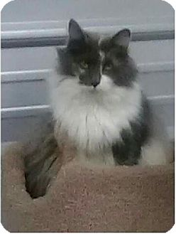 Maine Coon Cat for adoption in Newtown, Connecticut - Princess