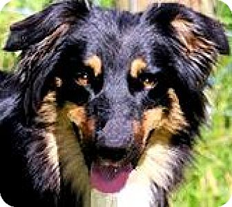 Australian Shepherd Dog for adoption in Wakefield, Rhode Island - LADY & TRIXIE-WHAT A STORY!!!