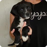 Adopt A Pet :: LA PUPS C - Corona, CA
