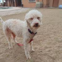 Adopt A Pet :: Curly - Las Cruces, NM