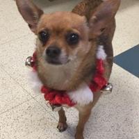Adopt A Pet :: Cuddles - Plano, TX