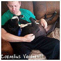 Adopt A Pet :: Cornelius Vanderbilt - Wilson, NC