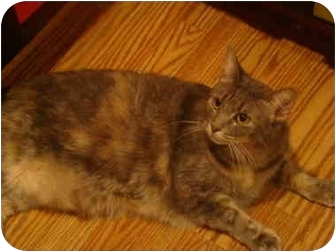 Domestic Mediumhair Cat for adoption in Muncie, Indiana - Gwen