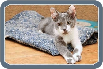 Domestic Shorthair Kitten for adoption in Sterling Heights, Michigan - Sax - ADOPTED!