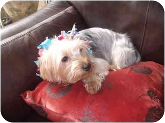 Yorkie, Yorkshire Terrier Dog for adoption in Conroe, Texas - Trixie