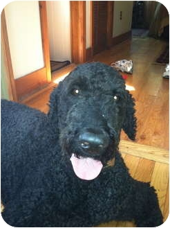 Golden Retriever/Poodle (Standard) Mix Dog for adoption in New Jersey, New Jersey - NJ - Buster