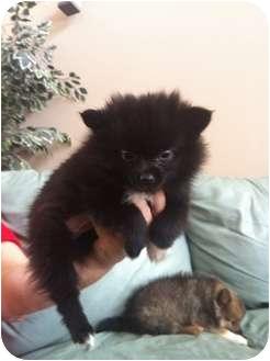 Pomeranian Puppy for adoption in Lonedell, Missouri - misty