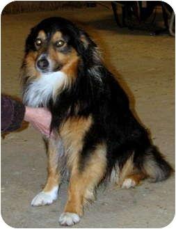 Australian Shepherd/Collie Mix Dog for adoption in Colville, Washington - Deek