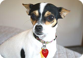 Rat Terrier/Chihuahua Mix Dog for adoption in Yorba Linda, California - Harriet - 8 lbs.