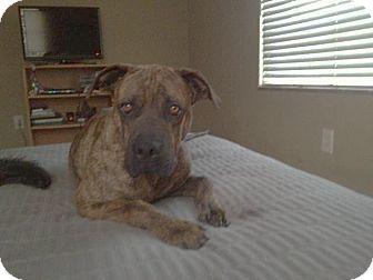 Mastiff/Boxer Mix Puppy for adoption in Miami, Florida - Russell