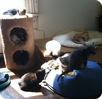 Domestic Shorthair Kitten for adoption in Greensburg, Pennsylvania - Gonzalo