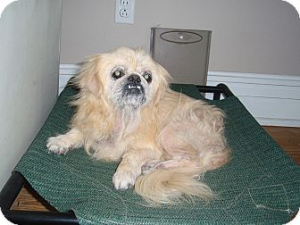 Pekingese Mix Dog for adoption in Richmond, Virginia - Gus