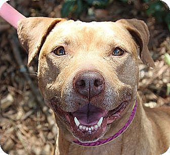 American Pit Bull Terrier Mix Dog for adoption in Atlanta, Georgia - Katie
