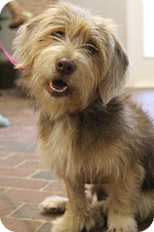 Yorkie, Yorkshire Terrier/Beagle Mix Dog for adoption in Greenville, Virginia - Chanel