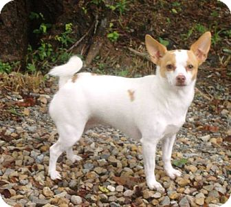 Chihuahua/Jack Russell Terrier Mix Dog for adoption in Ravenna, Texas - Gracie